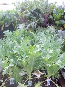 Nursery Gardening Plant Mattox 2