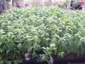 Nursery Gardening Plant Mattox 1